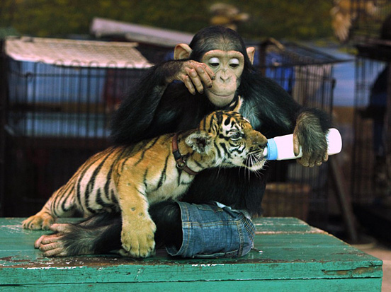 chimp feeds tiger cub l1 55 Visionary Examples of Creative Photography #6