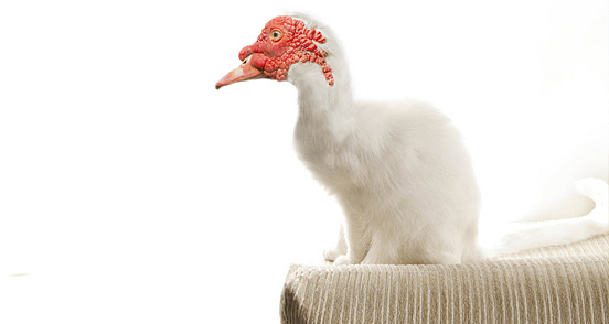 catduck l1 40 Entertaining Animal Photo Manipulations
