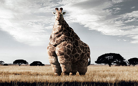 fatness giraffe l1 40 Entertaining Animal Photo Manipulations