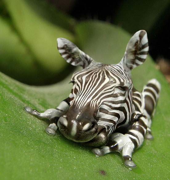 zebrafrog l1 40 Entertaining Animal Photo Manipulations