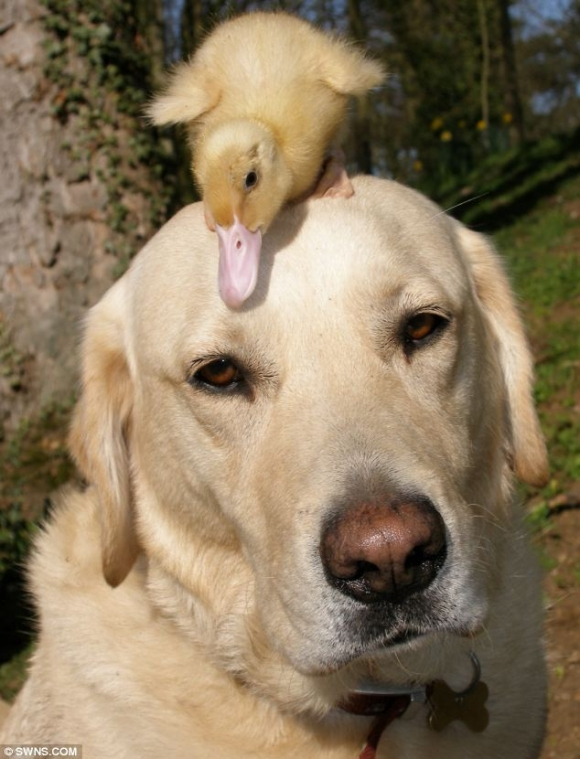 l labrador adopt duckling after its mother died1 45 Cute Animal Photos That Will Cheer You Up!