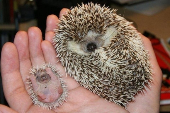 l my friends hedgehog gave birth1 45 Cute Animal Photos That Will Cheer You Up!