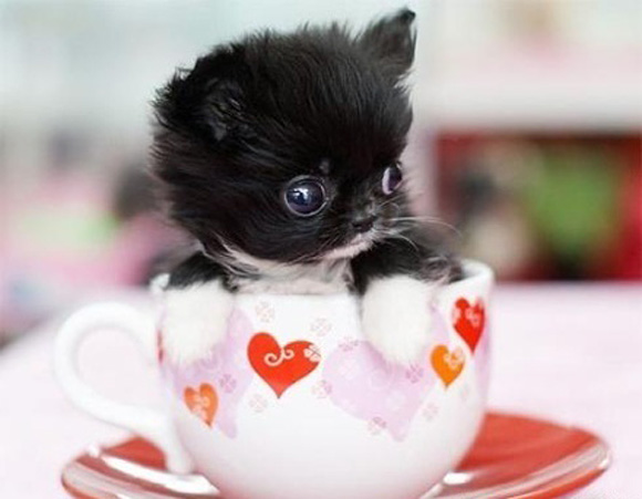 teacup puppy l1 45 Cute Animal Photos That Will Cheer You Up!