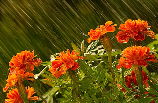Marigolds in the Rain by Deborah Sandidge
